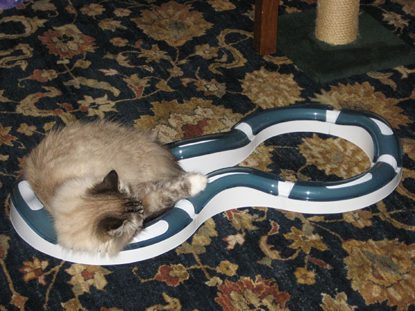 Siberian cat Mari with the Cat Super Roller Circuit
