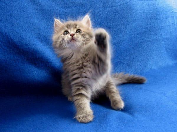 Siberian kitten Jonty at 7 weeks old