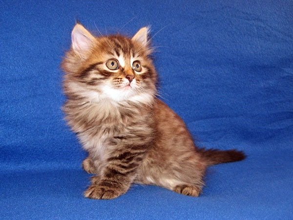 Black/brown tabby Siberian kitten Jespa at 7 weeks old