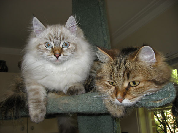 Siberian kitten Jabber (left) at 4.5 months old, with his mother Cici