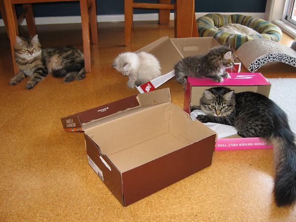 siberian cat Hoku in a box