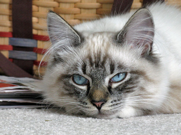 Siberian kitten Ksana at 6 months old
