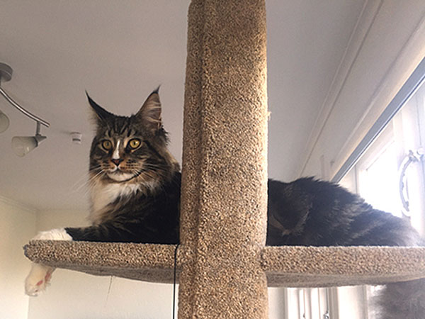 Nacho, a beautiful Maine Coon, relaxes on the upper platform of his new Mega Scratcher Deluxe climbing post.