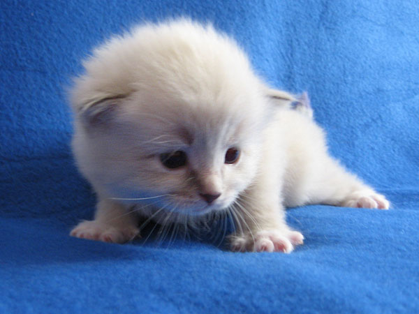 Siberian kitten Kiko at 20 days old, 20 September 2016