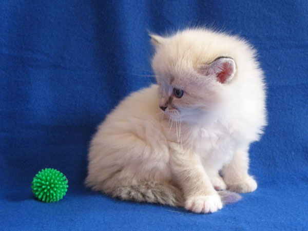 Siberian kitten Kiko at four weeks old, 29 September 2016