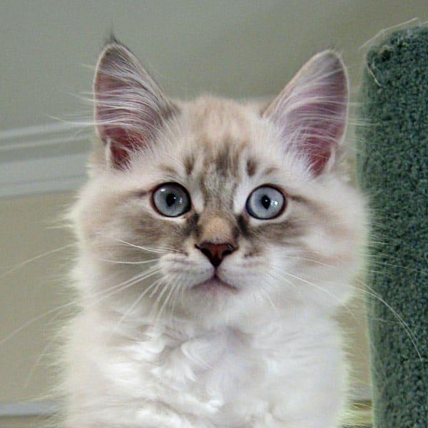 Siberian kitten Kiko at 13 weeks old, 4 Dec 2016