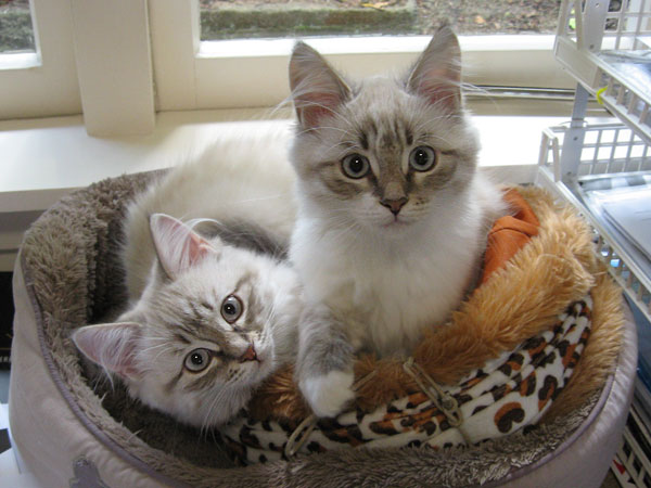 15-week-old Siberian kittens Ksenia (left) and Katrina