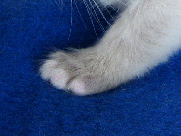 His right front paw is white, but his left front paw is grey with white toes.