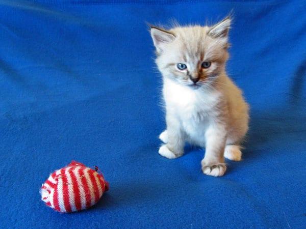 Siberian kitten Leo at 5 weeks old, 17 Dec 2016