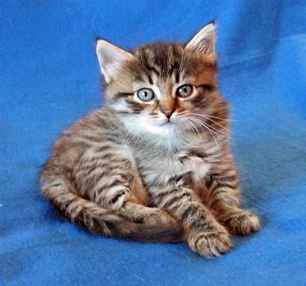 Siberian kitten Lucy at 5 weeks old, 17 Dec 2016