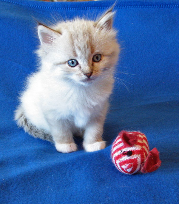 Siberian kitten Linus at 5 weeks old, 17 Dec 2016