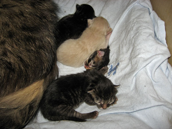 Siberian cat Hoku and her kittens at two days old