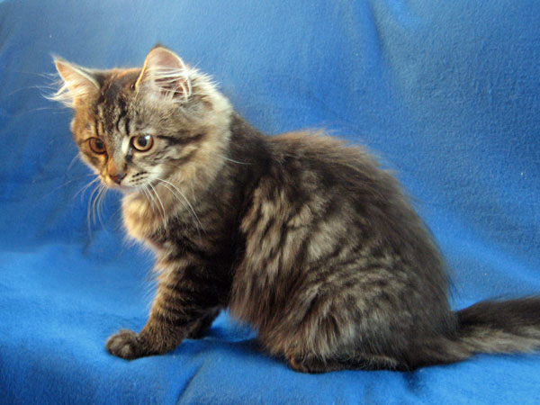 Siberian kitten Malinka at 16 weeks old, 17 April 2017