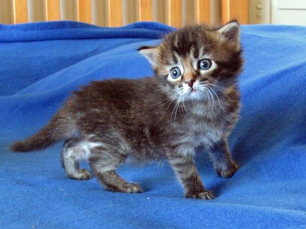 Siberian kitten Mitzi at 3 weeks old, 21 Jan 2017
