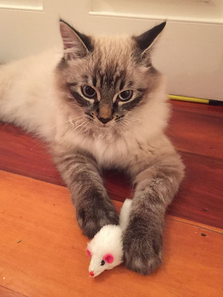 Siberian kitten Monty at 4.5 months old at his new home in Auckland