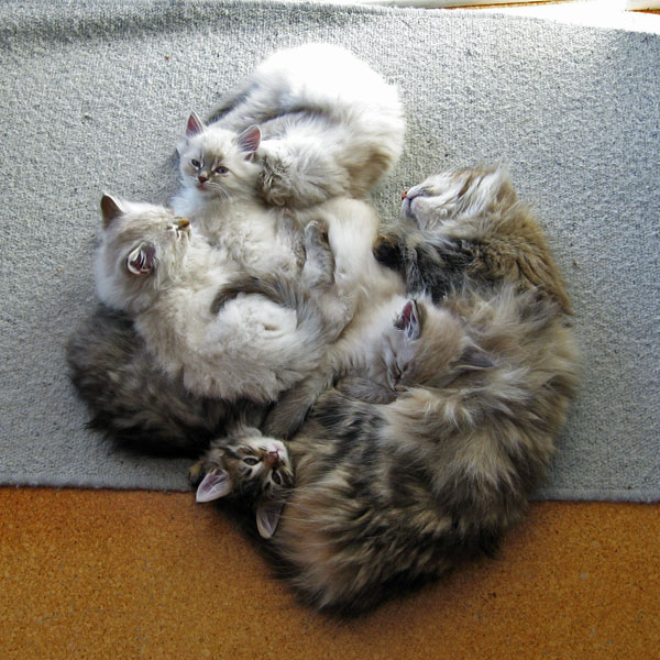 Cici and her five 8-week-old N Litter Siberian kittens curl up on a rug at the back door, 21 May 2017