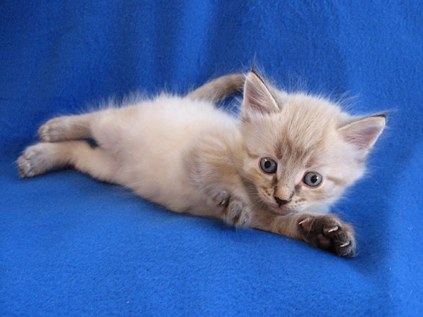 Siberian kitten Nuri at 5 weeks old, 21 May 2017
