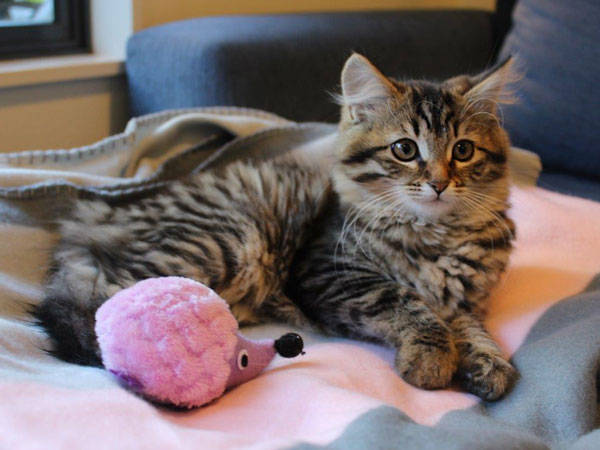 15-week-old Siberian kitten Nala, 31 July 2017