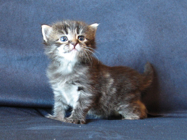 Siberian kitten Otis at 3 weeks old, 22 May 2017