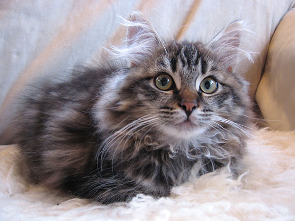 Siberian kitten Otis at 14 weeks old, 10 Aug 2017