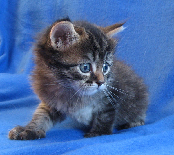 Siberian kitten Pingu at 4 weeks old, 21 Aug 2017