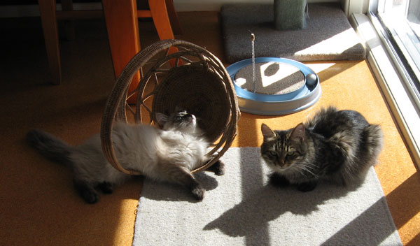 18-week-old Ollie and 2-year-old Hoku (one of our breeding females) catch some sun