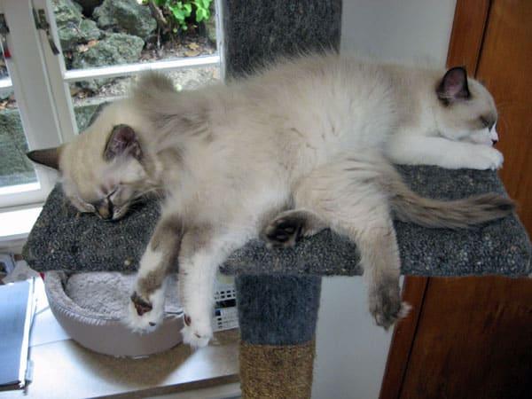 Siberian kitten Quella, lying across her sister Quiana