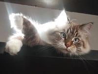 Siberian kitten Gus