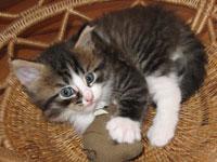 Siberian kitten Gabby
