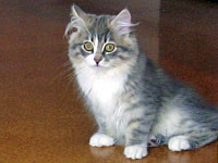 Siberian kitten Hollie