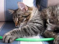 Siberian kitten Hana