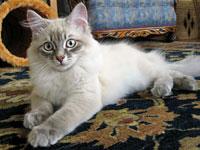 Siberian kitten Pavlov