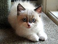Siberian kitten Quella