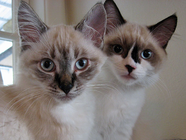 Siberian kittens Quiana and Quella at 15 weeks old