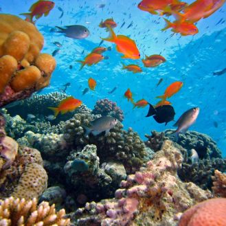Volunteer: A colourful coral reef with a school of bright orange fish.