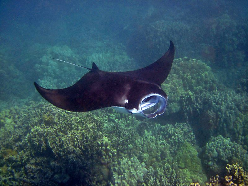 A manta ray over a coral reef.