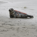 Injured seal on a beach with a piece of rope wrapped around its neck.
