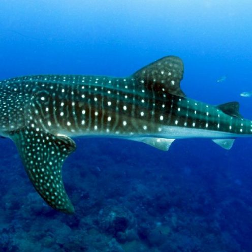 Volunteer: A whale shark swims over a coral reef.