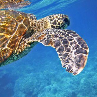 Volunteer: A turtle swimming.