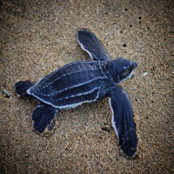 Volunteer: A baby leatherback turtle on a beach in Costa Rica