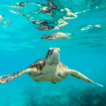 Volunteer: A turtle comes up for air.
