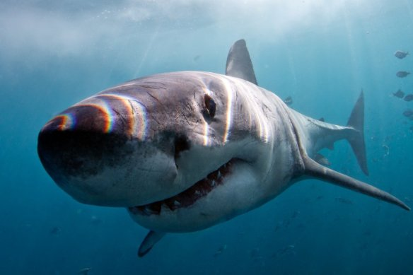 A Great White Shark is up close looking at the camera through one eye.