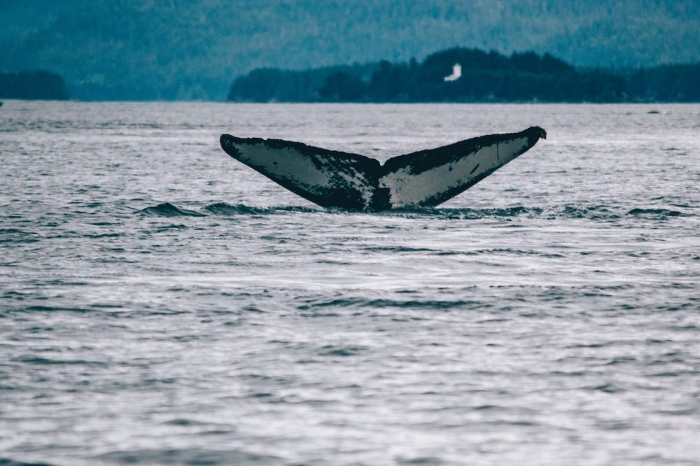 Humpback whale fluke seen on a marine conservation volunteer project.