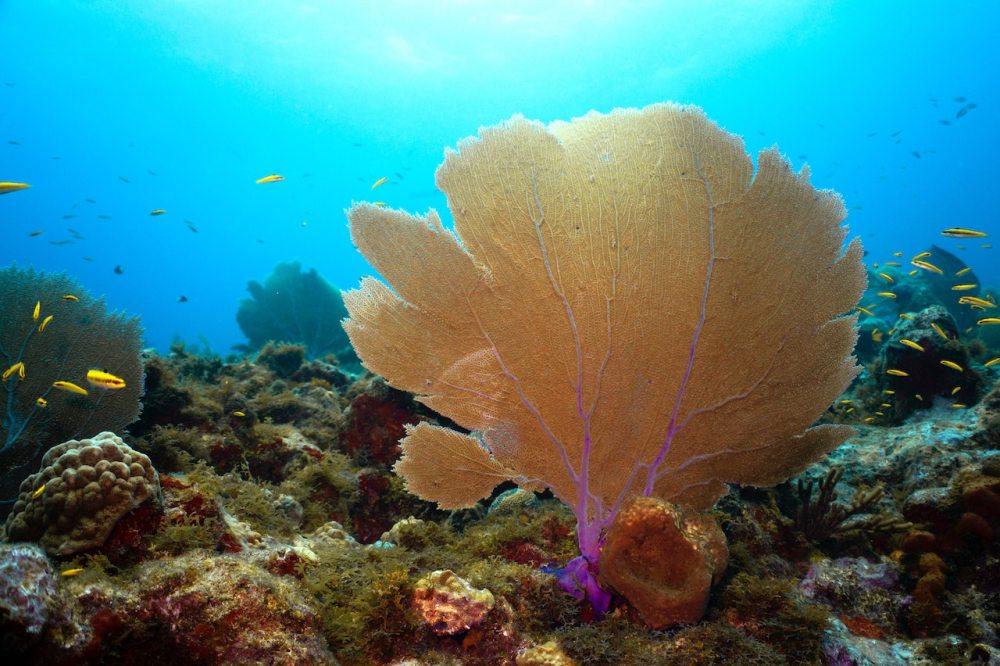orange sea fan