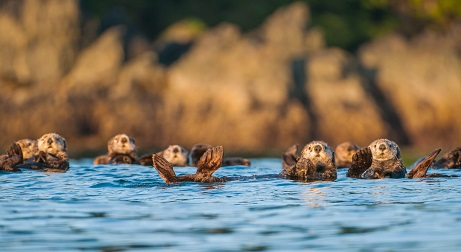 Sea Otters in ocean
