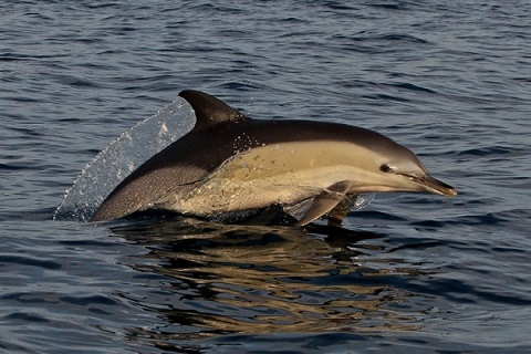 Common Dolphin in Adriatic - Tilen Genov Morigenos