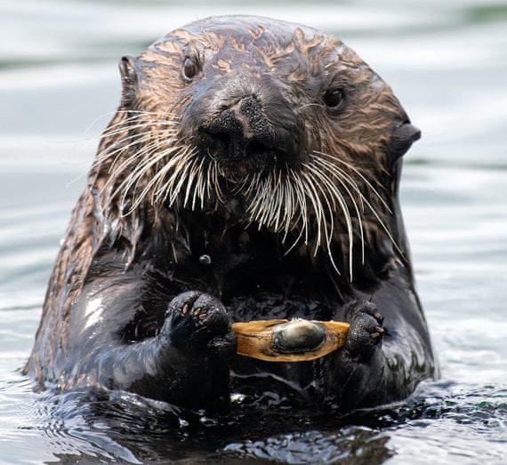 sea otter - Isabelle Groc