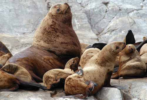 Steller Sea Lion Marine Education Alaska Sea Grant