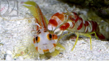 Yasa Hashe Goby and Candy Stripe Pistol are cool