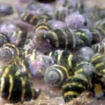 bumble-bee-snails